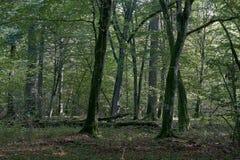 Alter natürlicher laubwechselnder Stand im Herbst lizenzfreie stockbilder