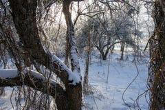 Alter Obstgarten, Bäume bedeckt mit Schnee Lizenzfreies Stockbild