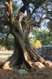 Alter Olivenbaum Lizenzfreies Stockbild