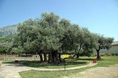 Alter Olivenbaum stockfoto