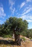 Alter Olivenbaum auf einem Hintergrund des blauen Himmels. Stockfotografie