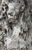 Alter Olivenbaum des Kabels Stockbild