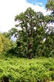 Alter Parkbaum zwischen Büschen Stockfotos