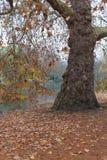 Alter Platanenbaum am nebelhaften Herbstmorgen lizenzfreie stockfotos