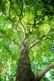 Alter riesiger grüner Baum Stockfotografie