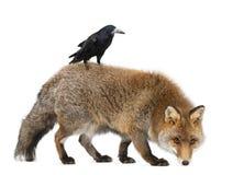Alter roter Fuchs, Vulpes Vulpes, 15 Jahre alt Stockfotografie