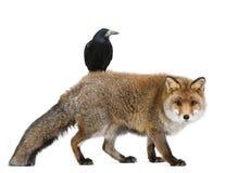 Alter roter Fuchs, Vulpes Vulpes, 15 Jahre alt Lizenzfreies Stockfoto