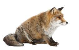 Alter roter Fuchs, Vulpes Vulpes, 15 Jahre alt Stockfotos