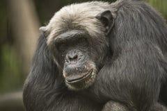 Alter Schimpanse, Nahaufnahme Lizenzfreie Stockfotografie