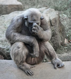 Alter Schimpanse tief in den Gedanken oder im Leid Lizenzfreies Stockbild