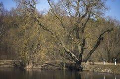 Alter schwarzer adler Baum durch den See Stockfoto