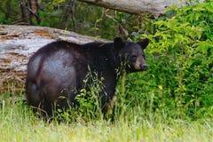 Alter schwarzer Bär Stockbild