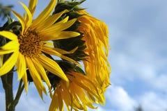 Alter Sonnenblumenabend Stockbild
