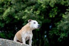 Alter Staffy-Hund am Strand Lizenzfreie Stockfotos