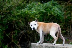 Alter Staffy-Hund am Strand Lizenzfreies Stockbild