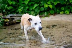 Alter Staffy-Hund am Strand Stockfotos