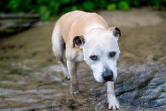 Alter Staffy-Hund am Strand Lizenzfreie Stockfotografie