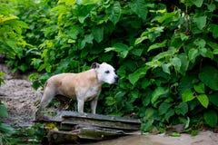 Alter Staffy-Hund am Strand Lizenzfreies Stockfoto