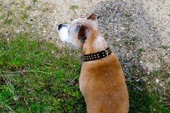 Alter Staffy-Hund am Strand Lizenzfreie Stockbilder