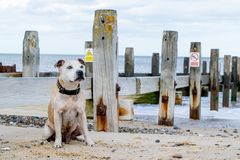 Alter Staffy-Hund am Strand Stockfotografie