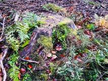 Alter Stumpf überwältigt mit Moos im Wald im Frühherbst stockfotografie