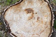 Alter Stumpf im Wald zeigt die Beschaffenheit eines Baums Lizenzfreie Stockbilder