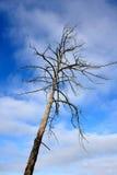 Alter toter Baum lizenzfreies stockbild