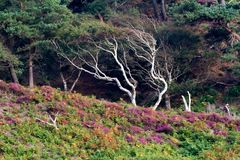 Alter toter Baum mit Heide Stockfotografie