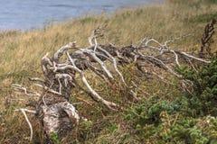 Alter toter Baum, Prinz Edward Island Lizenzfreies Stockbild