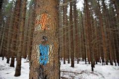 Alter Tourist verlegt Markierungen auf einem Tannenbaum Lizenzfreie Stockfotografie
