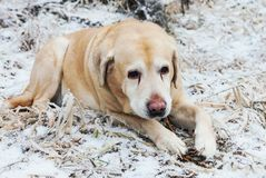 Alter trauriger goldener labrador retriever-Hund im Winter Lizenzfreie Stockfotografie
