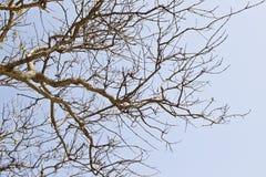 Alter trockener Baum gegen einen blauen Himmel Stockfotografie