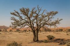 Alter trockener Baum in Sossusvlei, Namibia Stockbilder