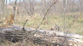 Alter trockener Stamm des gefallenen Baums auf dem Boden stock video footage
