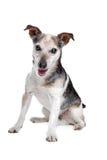 Alter und blinder Steckfassungsrussel-Terrier Stockbilder