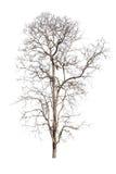 Alter und toter Baum lokalisiert auf weißem Hintergrund Lizenzfreies Stockbild