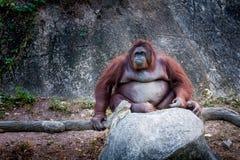 Alter Urangutan-Affe sitzt Lizenzfreie Stockfotos