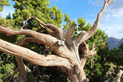 Alter Utah-Wacholderbusch am roten Felsen Lizenzfreie Stockfotos