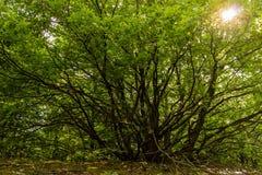 Alter verzweigter Baum mit Sonnenlicht im Hintergrund Stockbilder