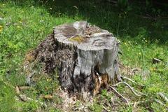 Alter Wald des Baumstumpfs im Frühjahr Stockfotos