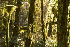 Alter Wald im Mooshintergrund Stockfotos