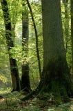 Alter Wald voll der Leuchte Stockfotografie
