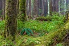 Alter Waldungs-Naturlehrpfad im olympischen Nationalpark, Washington, Vereinigte Staaten stockfoto