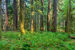 Alter Waldungs-Naturlehrpfad im olympischen Nationalpark, Washington, Vereinigte Staaten lizenzfreie stockbilder