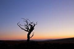 Alter Weißdorn-Baum Dartmoor Lizenzfreie Stockfotos