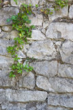 Alter weißer Steinwand- und Efeuhintergrund Lizenzfreies Stockfoto