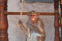 Alter wilder Affe, Hampi Lizenzfreie Stockfotografie