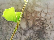 Alter Zementwandhintergrund mit kletterndem Baum des Efeus Stockfoto