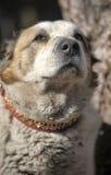 Alter zentraler asiatischer Schäfer Dog Lizenzfreies Stockfoto