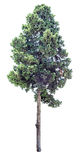Alter Zypressenbaum lokalisiert Lizenzfreie Stockfotografie